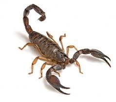 Secretaria da Saúde Palmeira das Missões publicou nota informativa a respeito da proliferação de escorpiões na cidade